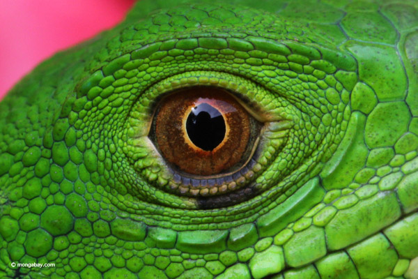 Common green iguana, up close and personal