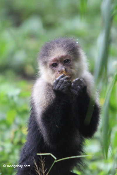 Capuchin monkeys have very human-like features, making it easier for people to ascribe human emotions to them. Photo by: Rhett A. Butler.
