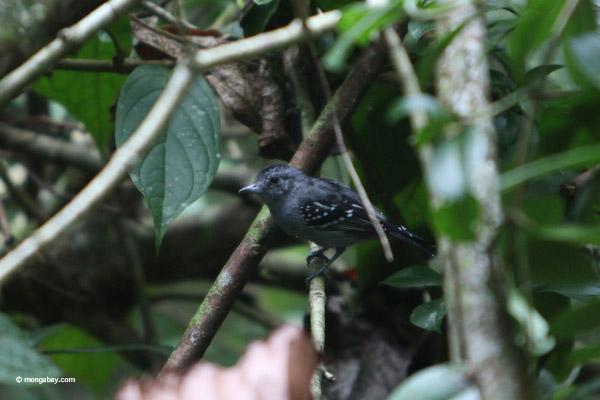 Bird [colombia_4339]
