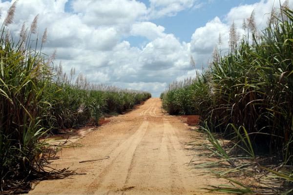Tropical sugar cane
