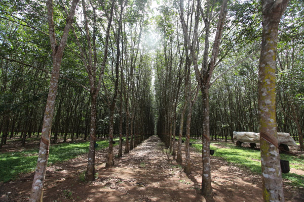 Industrial rubber plantation