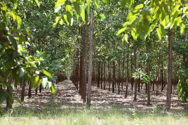 This acacia timber plantation in Colombia may be defined as forest by satellite data. Photo by Rhett A. Butler.