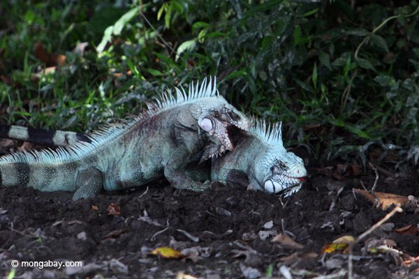 Two green iguana males fight. Photo by: Rhett A. Butler.