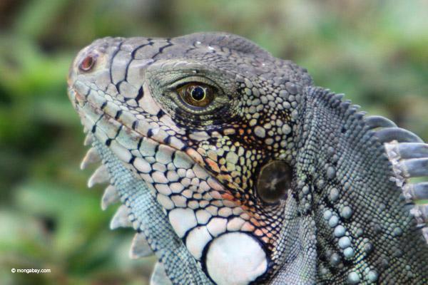 Green iguana headshot [colombia_6456]
