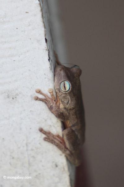 Hypsiboas crepitans Tree frog [colombia_6483]