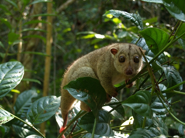 A northern common cuscus in Misool, Raja Ampat. Photo by: Dmitry Telnov.