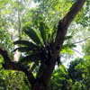Epiphyte in Aceh