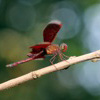 Red grasshawk butterfly