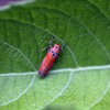 Brilliant leafhopper