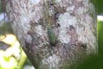 Cicada [aceh_0120]