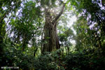 Strangler fig in Aceh