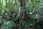 Rainforest tree near Jantho [aceh_0193]