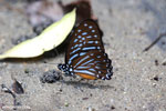 Butterfly in Aceh