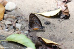 Butterfly in Aceh [aceh_0207]