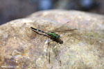 Green grasshawk dragonfly