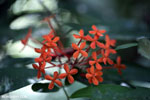 Red tubular flowers