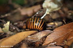 Pill millipede in Aceh