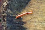 Red centipede [aceh_0475]