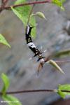 Caterpillar [aceh_0606]