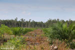 Peat forest conversion for palm oil production in Central Kalimantan. Photo taken in March 2013 by Rhett A. Butler