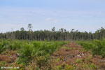 New oil palm plantation established on peatland outside Palangkaraya