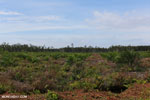 New oil palm plantation established on peatland outside Palangkaraya [kalteng_0057]