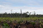 New oil palm plantation established on peatland outside Palangkaraya [kalteng_0072]
