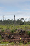 New oil palm plantation established on peatland outside Palangkaraya [kalteng_0074]