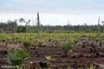 New oil palm plantation established on peatland outside Palangkaraya [kalteng_0085]