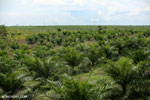 New oil palm plantation established on peatland outside Palangkaraya [kalteng_0098]
