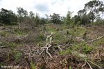 Slash-and-burn agriculture in Borneo