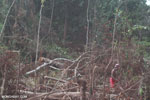 Farmer clearing peat forest in Indonesian Borneo [kalteng_0154]