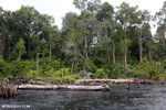Burned forest, felled trees in Borneo peatland