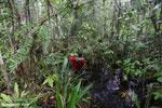 Navigating Borneo's peat swamp