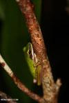 Hylarana raniceps frog [kalteng_0404]