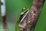 Hylarana raniceps frog [kalteng_0412]
