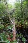 Illegal logging near a sampling plot in the Katingan project area. Photo taken in March 2013 by Rhett A. Butler