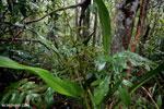 Plant [kalteng_0443]