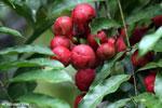 Red fruit [kalteng_0515]