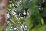 Oriental Pied Hornbill (Anthracoceros albirostris) [kalteng_0624]