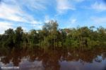 Peat forest in Borneo [kalteng_0660]