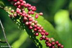 Berries [kalteng_0713]