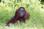 Bornean orangutan [kalteng_0833]