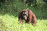 Bornean orangutan [kalteng_0910]