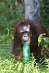 Bornean orangutan that has found a plastic bottle and filled it with river water to drink [kalteng_0933]
