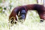 Bornean orangutan in Borneo