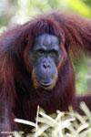 Bornean orangutan in Borneo [kalteng_0971]