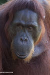 Bornean orangutan in Central Kalimantan [kalteng_0988]