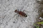 Tiger beetle [kalteng_1035]