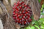 Oil palm fresh fruit bunch